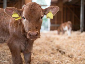 Kalb im Stall - Gute Tierwohlkriterien